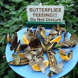 Butterflies feeding! Do Not Disturb Кормление бабочек. Просьба - не беспокоить.