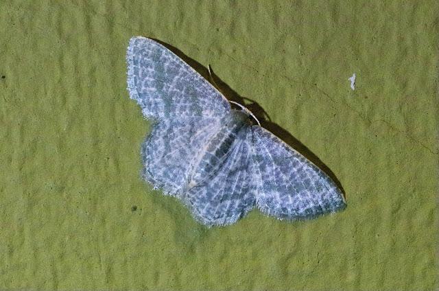 Chloropteryx opalaria (Guenée, 1857). Santa Fe (Veraguas, Panamá), 18 octobre 2014. Photo : J.-M. Gayman