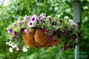 Kỹ thuật chăm sóc hoa Dạ yến thảo