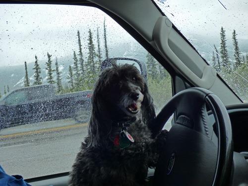 Skruffy on Dave's Lap, Alaskan Highway