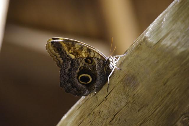 Caligo telamonius telamonius (C. Felder & R. Felder, 1862). Fundo Palmarito, 265 m (Yopal, Casanare, Colombie), 7 novembre 2015. Photo : J.-M. Gayman