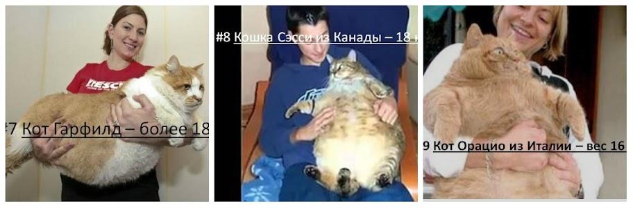 самая толстая кошка в мире