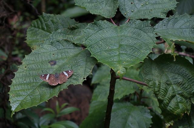 Celaenorrhinus songoensis saroma Evans, 1952. Campamento Las Moyas, 1100 m (Santa María en Boyacá, Boyacá, Colombie), 16 novembre 2015. Photo : C. Basset