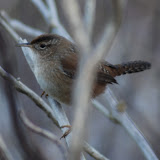 Birds - British Columbia - Wren.jpg