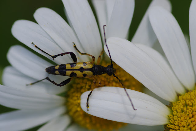 Lepturinae : Leptura maculata (PODA, 1761). Les Hautes-Lisières (Rouvres, 28), 13 juin 2012. Photo : J.-M. Gayman