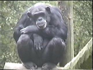 1998.09.09-016 chimpanzé