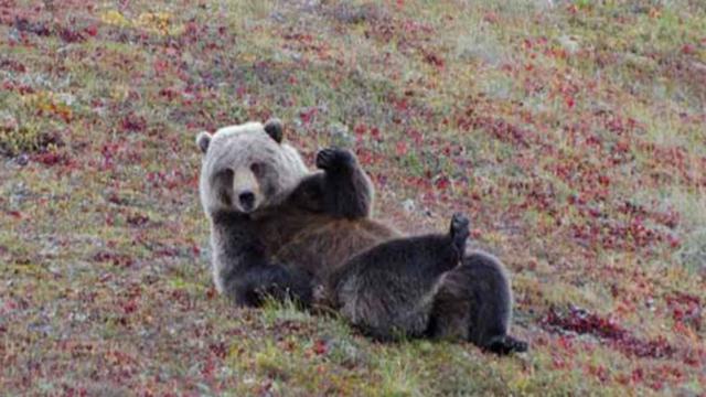 Gặp lại sau mùa đông nhé!, một chú gấu ở vườn quốc gia Denali, Alaska đang vẫy tay chào nhiếp ảnh gia - Tác giả: Aaron Schmid.