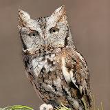 Eastern Screech-owl (Wikimedia)