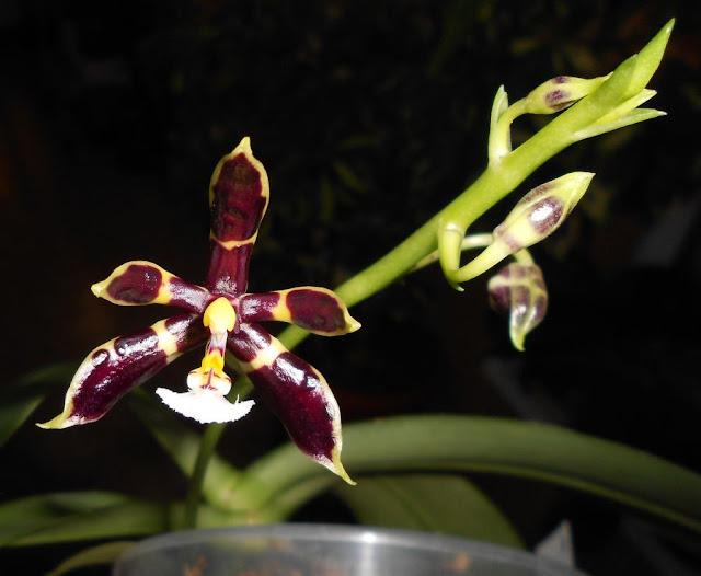 Phalaenopsis mannii DSCN1589