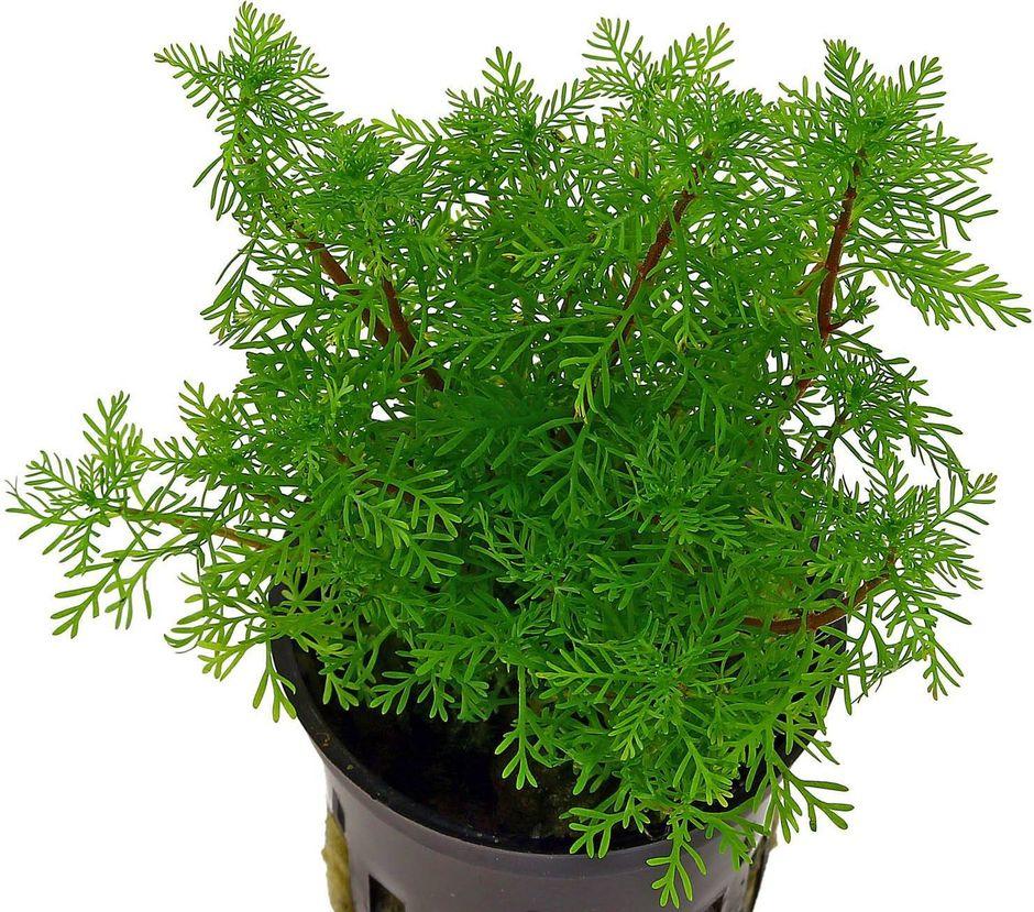 Перистолистник зеленый (Myriophyllum mattogrossense)