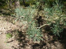 Sosna zwyczajna pęd Pinus sylvestris