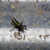 Romaleidae : Trybliophorus sp. Entre Nanegalito et Nono, 1980 m (Pichincha, Équateur), 12 décembre 2013. Photo : J.-M. Gayman