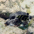 Boxfish being cleaned
