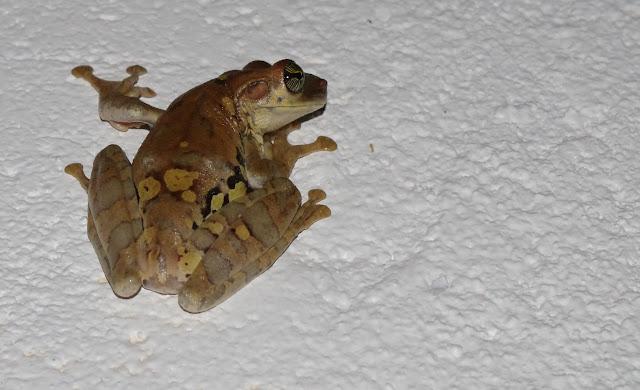 Osteocephalus taurinus STEINDACHNER, 1862 (?). Patawa (Montagne de Kaw), 24 octobre 2012. Photo : J.-M. Gayman