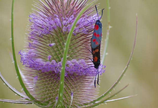 Zygaena viciae charon HÜBNER, 1876 in copula. Chevigny au Nord de Semur-en-Auxois. 19 juillet 2008. Photo : J.-M. Gayman