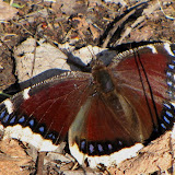 Mourning Cloak - a tortoiseshell butterfly