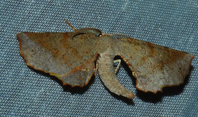 Geometridae : Oenochrominae : Circopetes obtusata WALKER, 1860. Umina Beach (N. S. W., Australie), 29 décembre 2011. Photo : Barbara Kedzierski