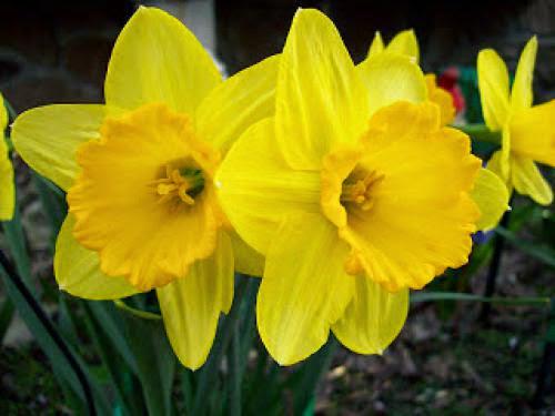 The Magick Of Daffodils
