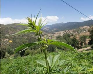 Le maroc garde sa place de premier producteur de cannabis: Le royaume continue de «shooter» la planète