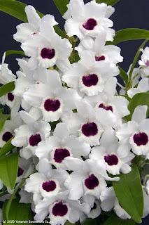 Den. Silky White 'Yukiko' BM/JOGA