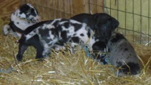 Gretta & Cobalt Blues 3/24/12 litter - SAM_3434.JPG