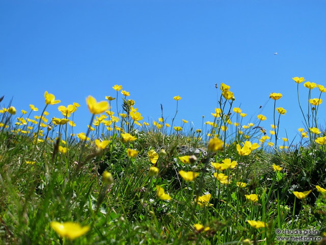 flori galbene de munte
