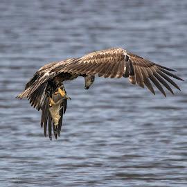 Gotcha - I think by Deborah Felmey - Animals Birds ( bird, eagle, bird of prey, nature, wildlife, bird watching, bird in flight,  )