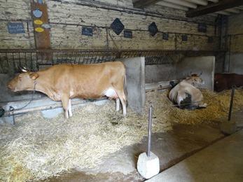 2018.07.01-011 vaches dans l'étable