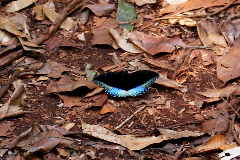 Mariposa azul y negra en la jungla de Borneo