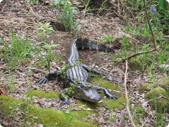 16 Van Fleet - Alligator