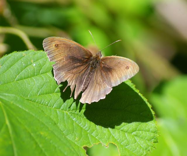 Maniola jurtina LINNAEUS, 1758, mâle, en forêt. Les Hautes-Lisières, 14 juillet 2009. Photo : J.-M. Gayman