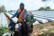 Kementan Kawal dan Dampingi Saprodi di Sukabumi Sehingga Mampu Penuhi Kebutuhan Sayur Jakarta dan Bandung