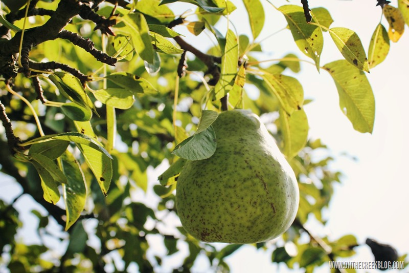 Bartlett pear on tree
