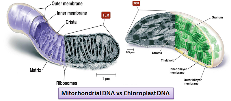 Difference between mitochondrial DNA and Chloroplast DNA