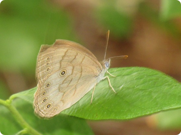 IMG_6863 Eyed-brown Butterfly, Satyrodes eurydice (1)