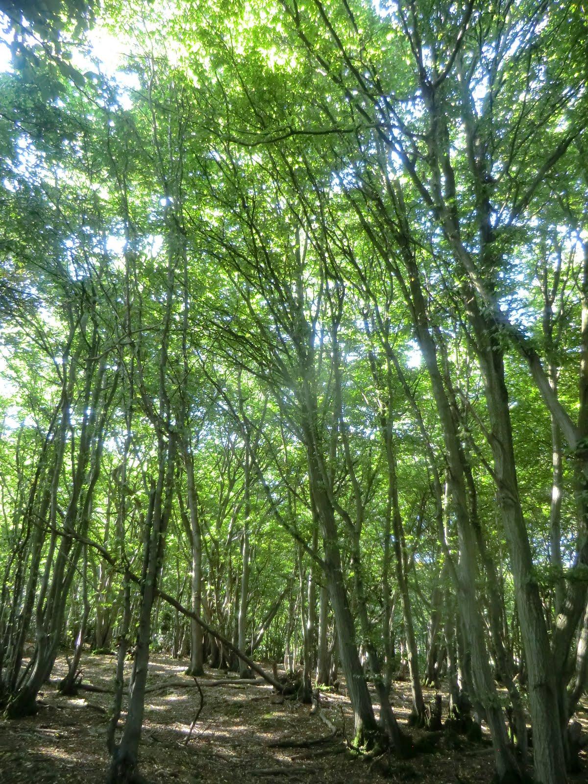 CIMG0649 Hornbeam wood near Freshfield Bridges