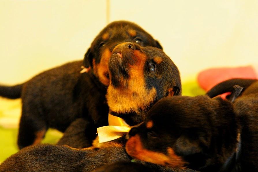Rottweilery małe