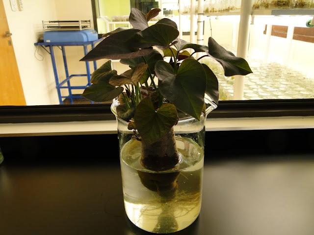cultivo de meristemas para obtencion de batata libre de virus - 004.JPG
