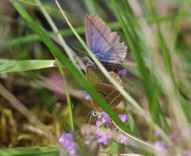 Au premier plan : Polyommatus damon (DENIS & SCHIFFERMÜLLER, 1775), femelle. Tras le Mont, 820 m, Cocurès (Lozère), 7 août 2013. Photo : J.-M. Gayman