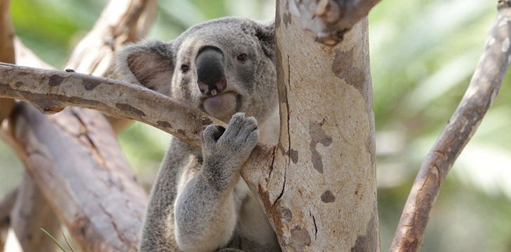 Koalas have unique fingerprints.