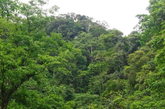 Lieu de passage de Morpho helenor taboga Le Moult & Réal, 1962. El Valle de Antón, 750 m (Coclé, Panamá), 31 octobre 2014. Photo : J.-M. Gayman