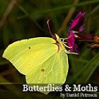 Butterflies and moths by Daniel Petrescu