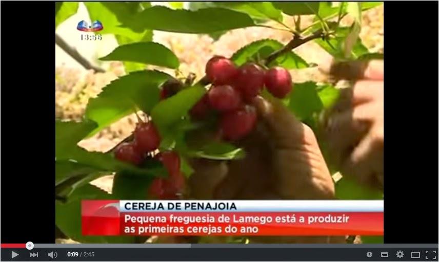 Reportagem SIC - Pequena freguesia de Lamego produz as primeiras cerejas do ano