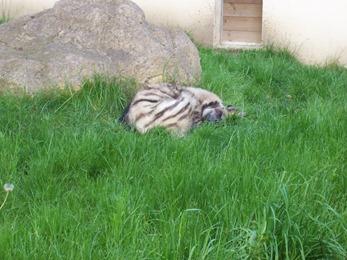 2005.05.18-021 hyène rayée