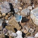Polyommatus coridon coridon (PODA, 1761), mâle. Tras le Mont (820 m), Cocurès (Lozère, France), 3 août 2014. Photo : J.-M. Gayman