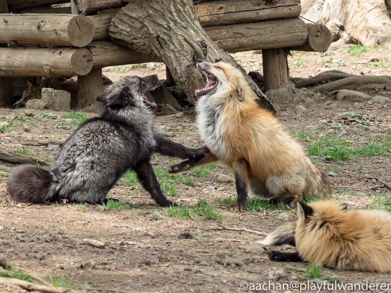 foxvil (61 - 70).jpg