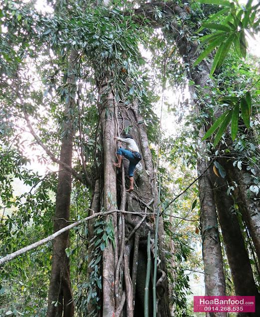 Khai thác Mật Ong Rừng ở Lai Châu - 14