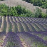 Champ de lavande. Les Hautes-Courennes. Saint-Martin-de-Castillon (Vaucluse), 17 juin 2015. Photo : J.-M. Gayman