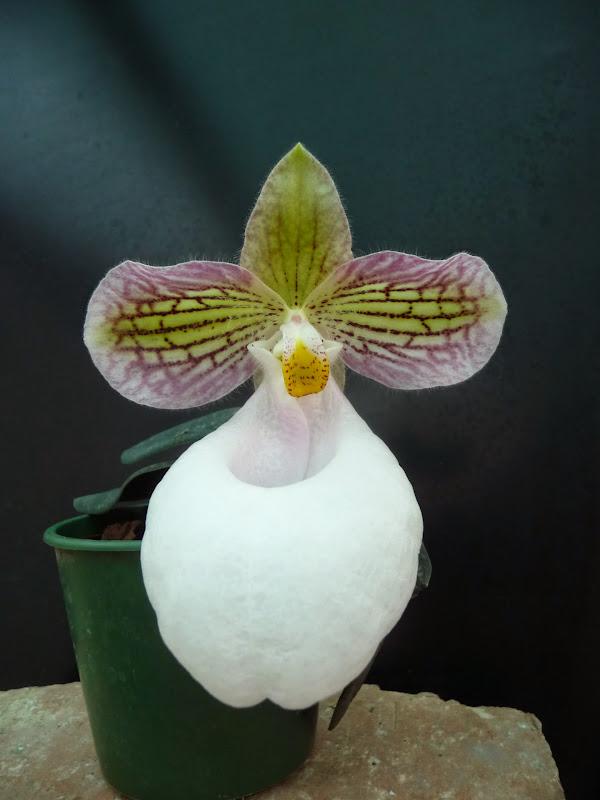 Paphiopedilum micranthum f. eburneum P1200712