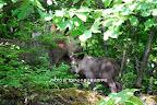 2008/7/27/14:26 三棟より林道を50m下がったカーブミラーのところから見上げた尾根 戸谷愉美撮影 ビッグママのこの春に生まれた仔カモシカ。 まだ足取りもたどたどしく、崖を行くイメージのカモシカとは思えない。親から3mと離れようとはしない。09年の夏のどうぶつ探検キャンプの子ども達によって「ニャンニャン」と名づけられることになる。